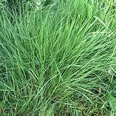 bentgrass.jpg