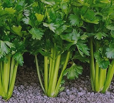 growingcelery-main-1514910811_edited.jpg