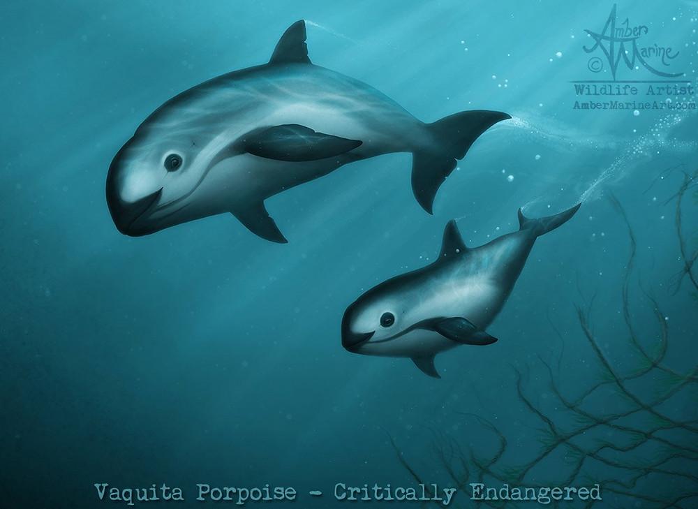 """Treacherous Waters"" vaquita art, mother and calf alive and underwater."