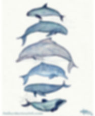 Rar Cetaceans wtercolor b mer Maie, copyrigt 2017, all rights reserved. Art of: vaquta porpoise, irrawaddy dolphin, humpback dolphin, baiji dolphin, finless porpoise, and maui's dolphin.