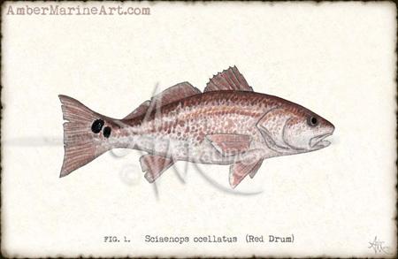 Redfish ~ 2013 ©