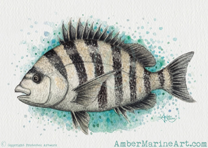 Sheepshead Splash Watercolor - Print
