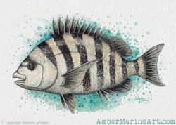 Sheepshead Splash Watercolor - Print