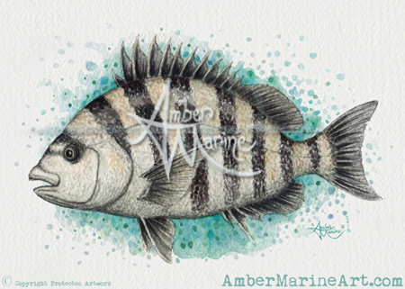 """Sheepshead Splash"" watercolor fish art by Amber Marine"