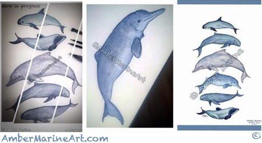 Vaquita art, irrawaddy dolphin, humpback dolphin, baiji dolphin, finless porpoise, maui's dolphin watercolor illustration in progress by Amber Marine © 2017