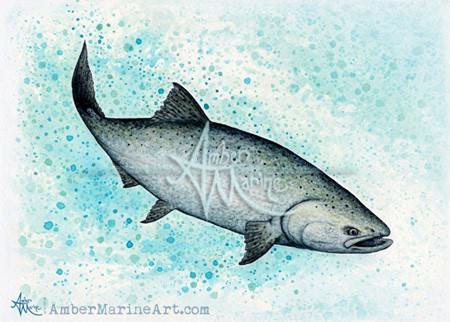 King / Chinook Salmon Watercolor Art by Amber Marine, © 2016, all rights reserved
