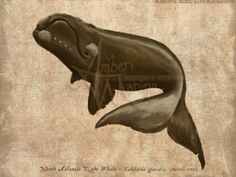 December - North Atlantic Right Whale