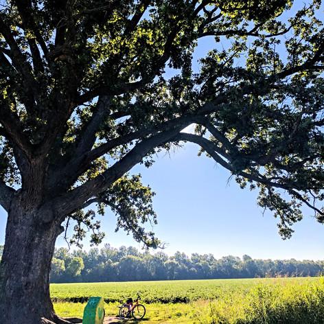 The Bur Oak Tree