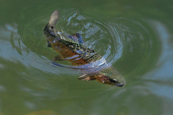 The rainbow trout (Oncorhynchus mykiss)