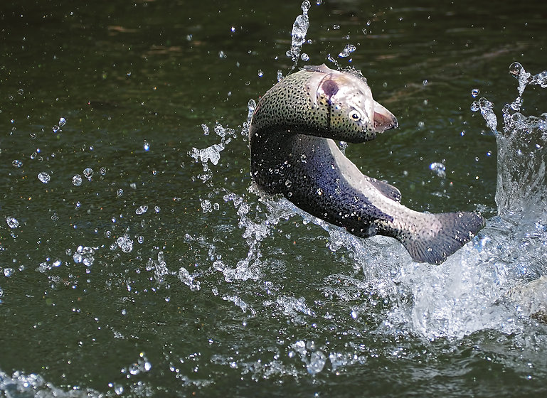 Fish trout jumping from the water.jpg