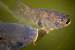 Two carps in the water catching the air.