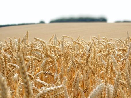 Rendement :  3 leviers pour optimiser vos blés