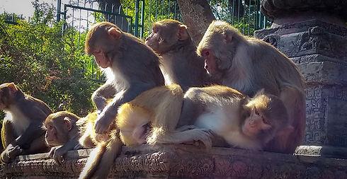 BCA Nepal Rhesus macaque photos (20)-2.j