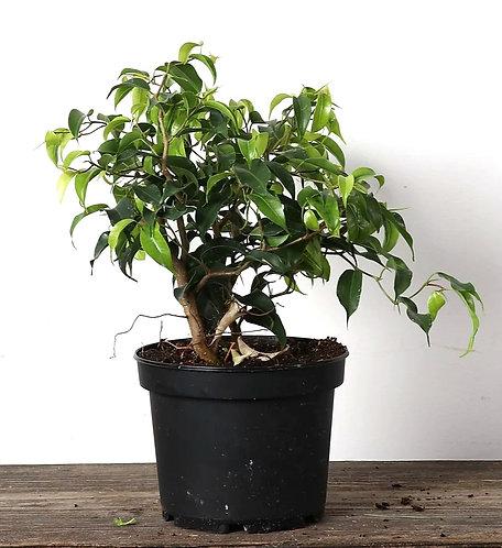"6"" Ficus - Weeping Fig Zig Zag"