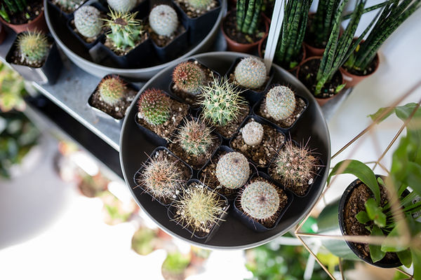 cactuscalgary.jpg