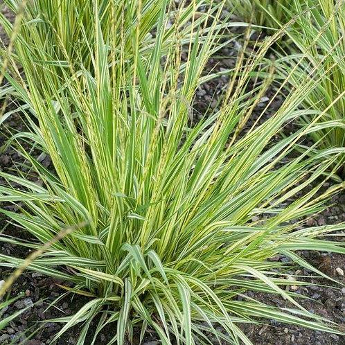 Molinia caerulea 'Variegata' ( Variegated Moore Grass )