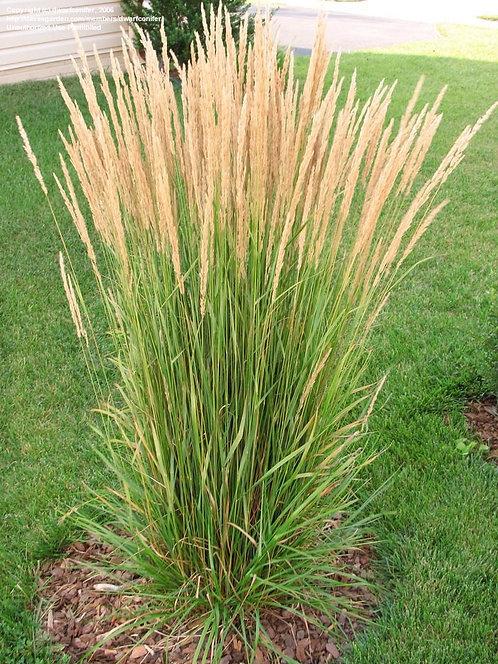 Calamagrostis acutiflora (Karl Foerster Grass)