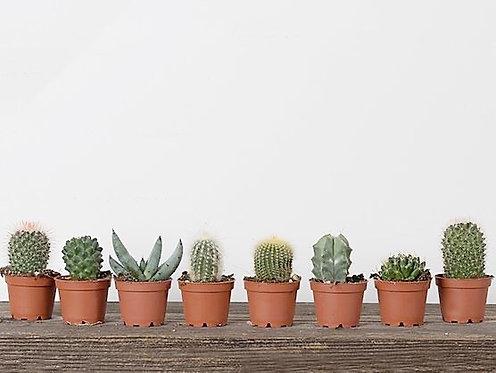 "2.5""  Cacti - Assorted"
