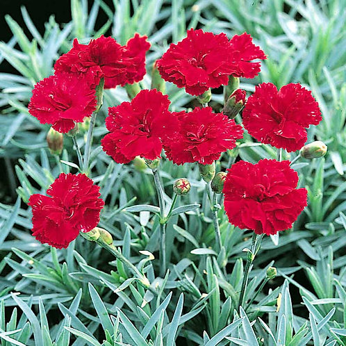 Dianthus 'Frosty Fire' (Border Pinks)
