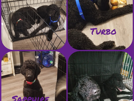 Meet the Poodles