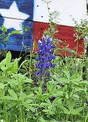 a-single-blue-bonnet-with-the-texas-flag