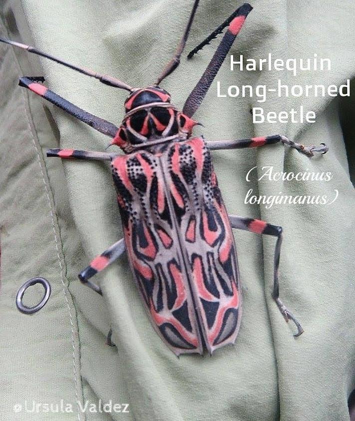 Harlequin+beetle+(Cerambycidae).jpg