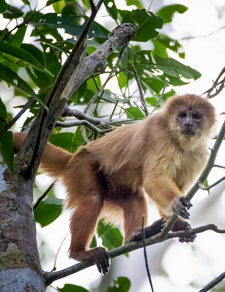 White -faced Capuchin Monkey