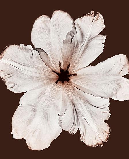 SM241 Tulipa II.jpg