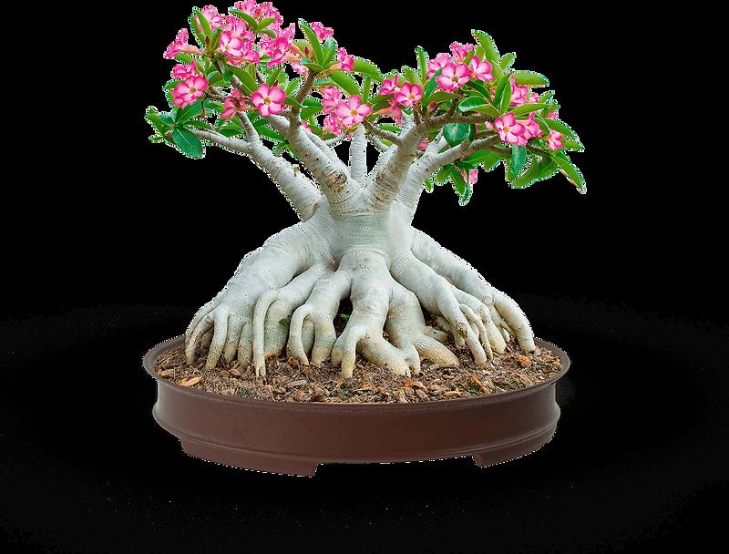 rosa-do-deserto-como-plantar.png