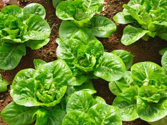 Saiba Como Cultivar Alfaces Gigantes Super Crocantes e Saborosas em Apenas 6 etapas