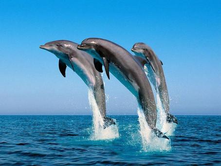 Os golfinhos gostam de aprender. Quando crescem, se tornam professores. Transmitem suas habilidades