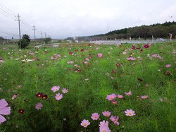 kosumosu01