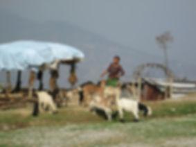 Thakani goats.JPG