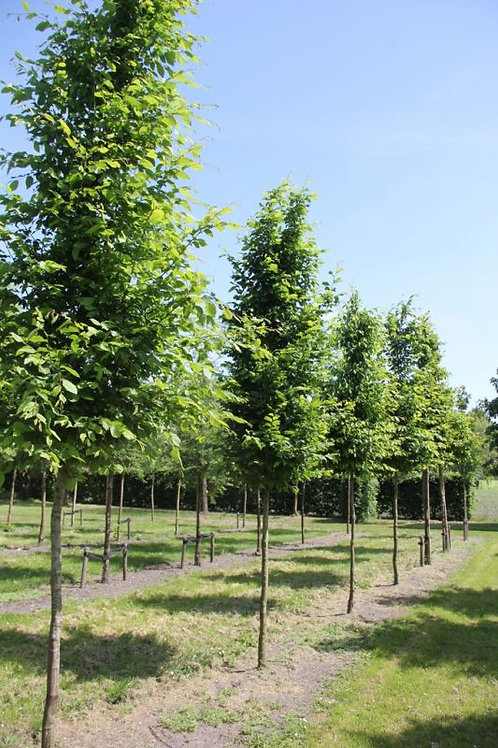 Haagbeuk (Carpinus Betulus)