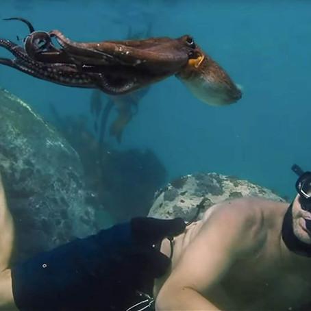 Moj učitelj, Hobotnica
