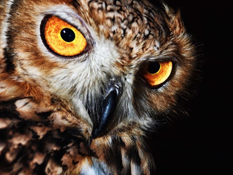Owl in action ...