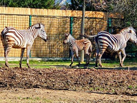 Korak do prave Zebre...