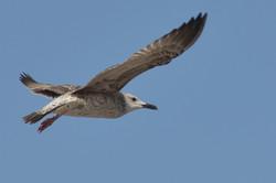 BA_en vol_Oiseau