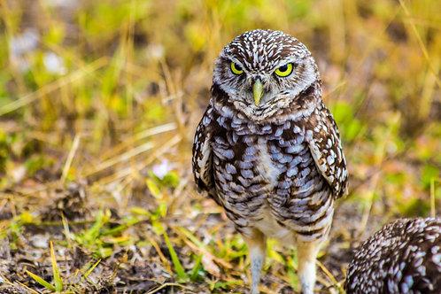 Owl With an Attitude 8x10 Print