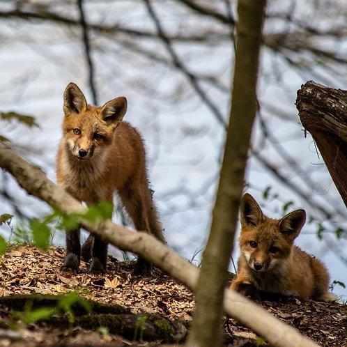 Baby Fox Siblings 16x20