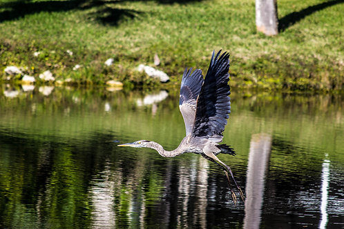 Great Blue Heron in Flight 16x20