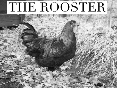 JANUARY: THE ROOSTER