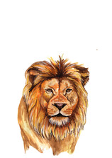 Lion adult.jpg