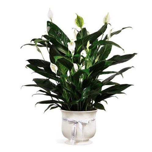 Peace Lily/ prayer plant