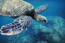 Sea Turtle_edited
