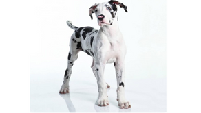 LARGE & GIANT BREED PUPPY NUTRITION  by Dr. Renè Smit
