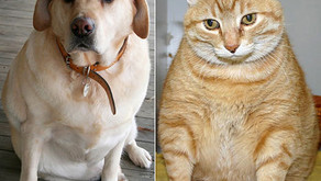 "The Dreaded ""O"" Word – Do you have an overweight pet? by Dr. Bianca Lee-Partington BVSc"