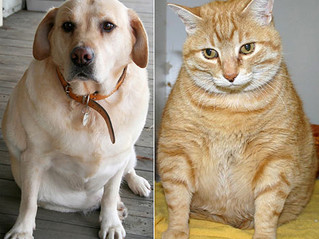 """The Dreaded """"O"""" Word – Do you have an overweight pet? by Dr. Bianca Lee-Partington BVSc"""