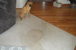 sad-dog-mess-on-carpet-Team Clean-Colorado-Residue-Free-Carpet-Cleaning-Loveland