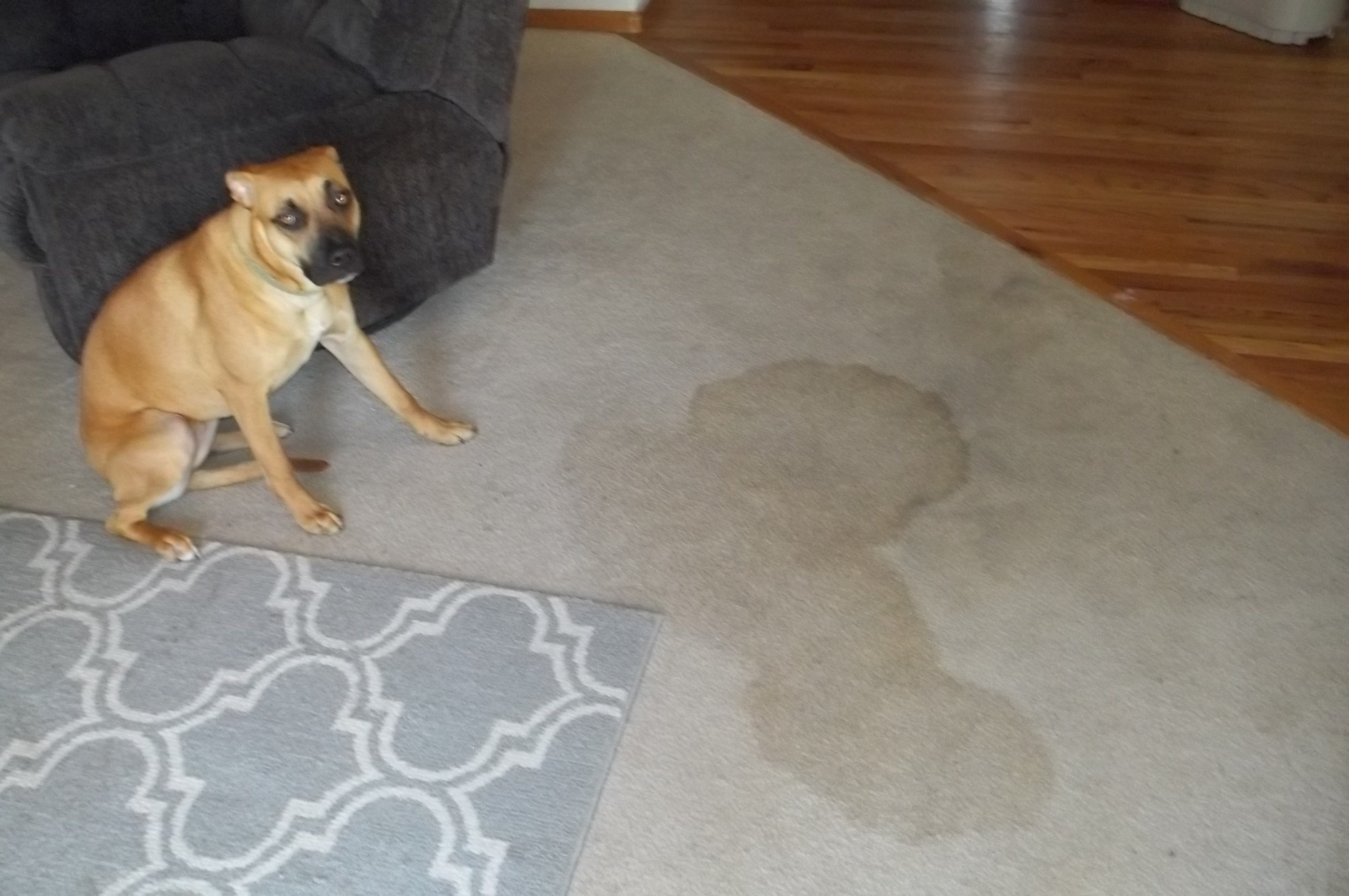 sad-dog-carpet-mess-Team-Clean-Colorado-Residue-Free-Carpet-Cleaning-Loveland